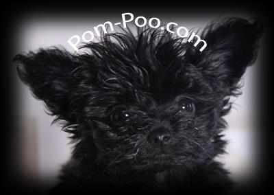 Pomeranian Poodle Mix